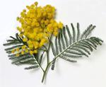 mimosa 150